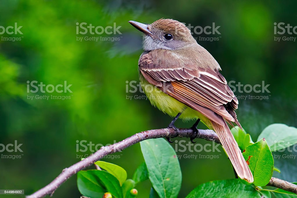 Great-crested Flycatcher stock photo