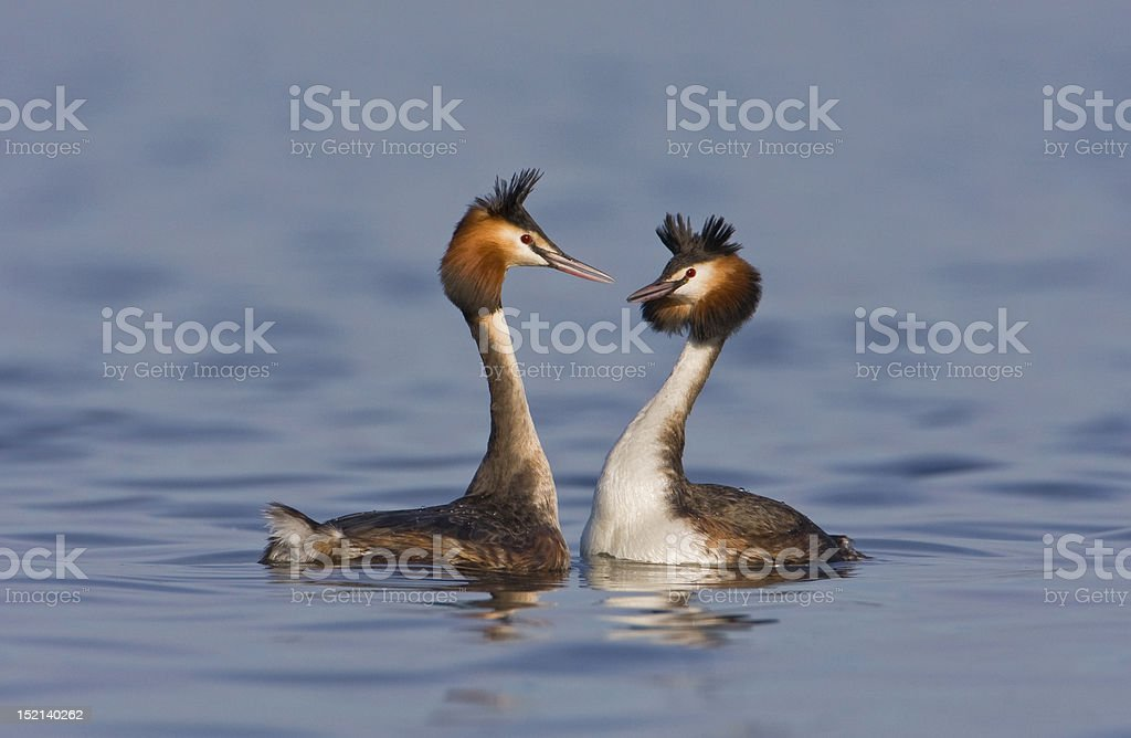 Greatcrested Grebes royalty-free stock photo