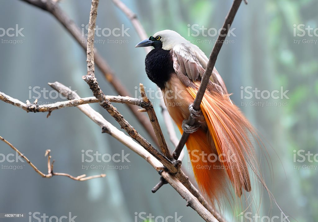 Greater bird-of-paradise male displaying beautiful plumage stock photo