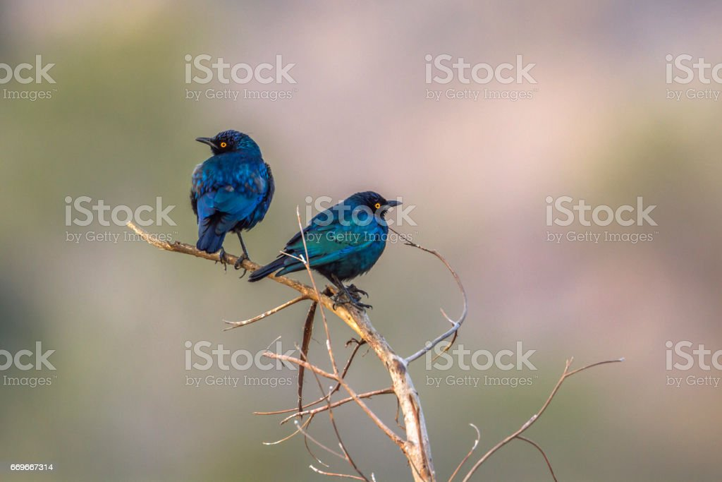 Greater blue-eared glossy-starling in Kruger national park, South Africa stock photo