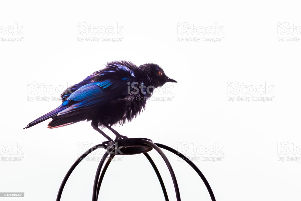 Greater Blue-Eared Starling (Lamprotornis Chalybaeus) perching on a wire cage during the day, Kruger National Park, South Africa stock photo