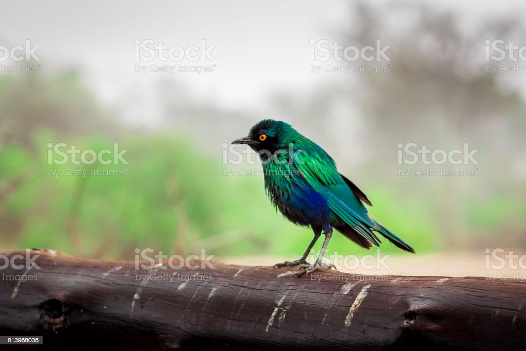 Greater Blue-Eared Starling (Lamprotornis Chalybaeus) perching on a wooden log during the day, Kruger National Park, South Africa stock photo