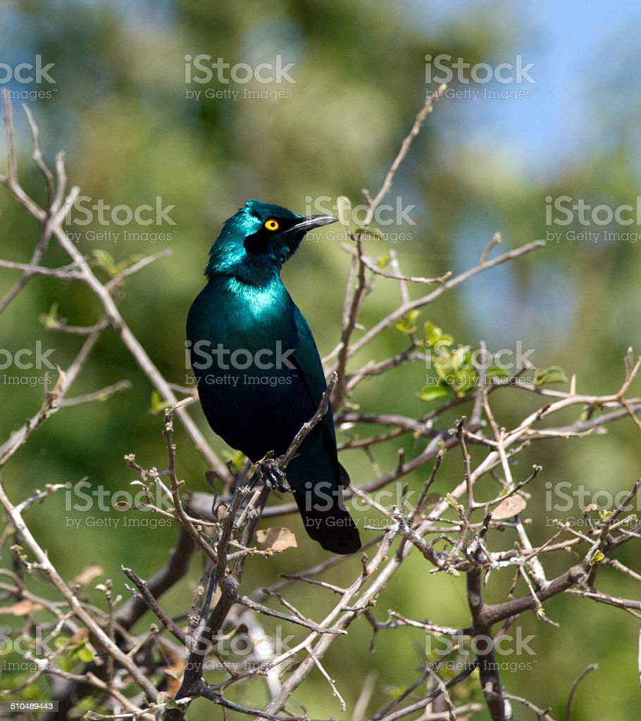 Greater blue-eared starling stock photo