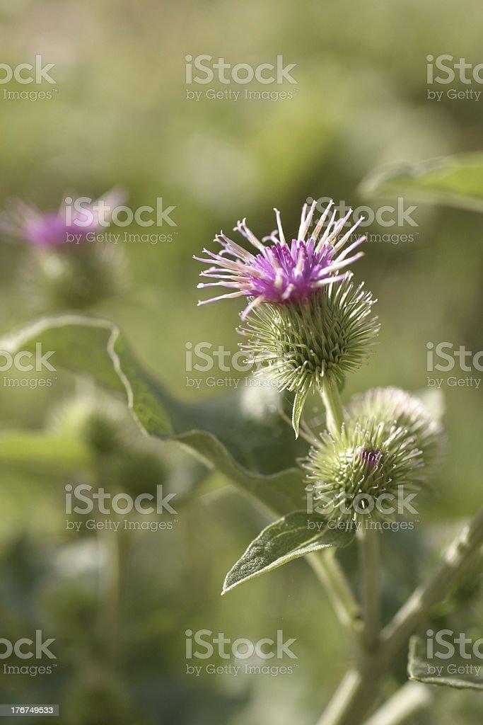 Greater burdock, Arctium lappa, flower royalty-free stock photo