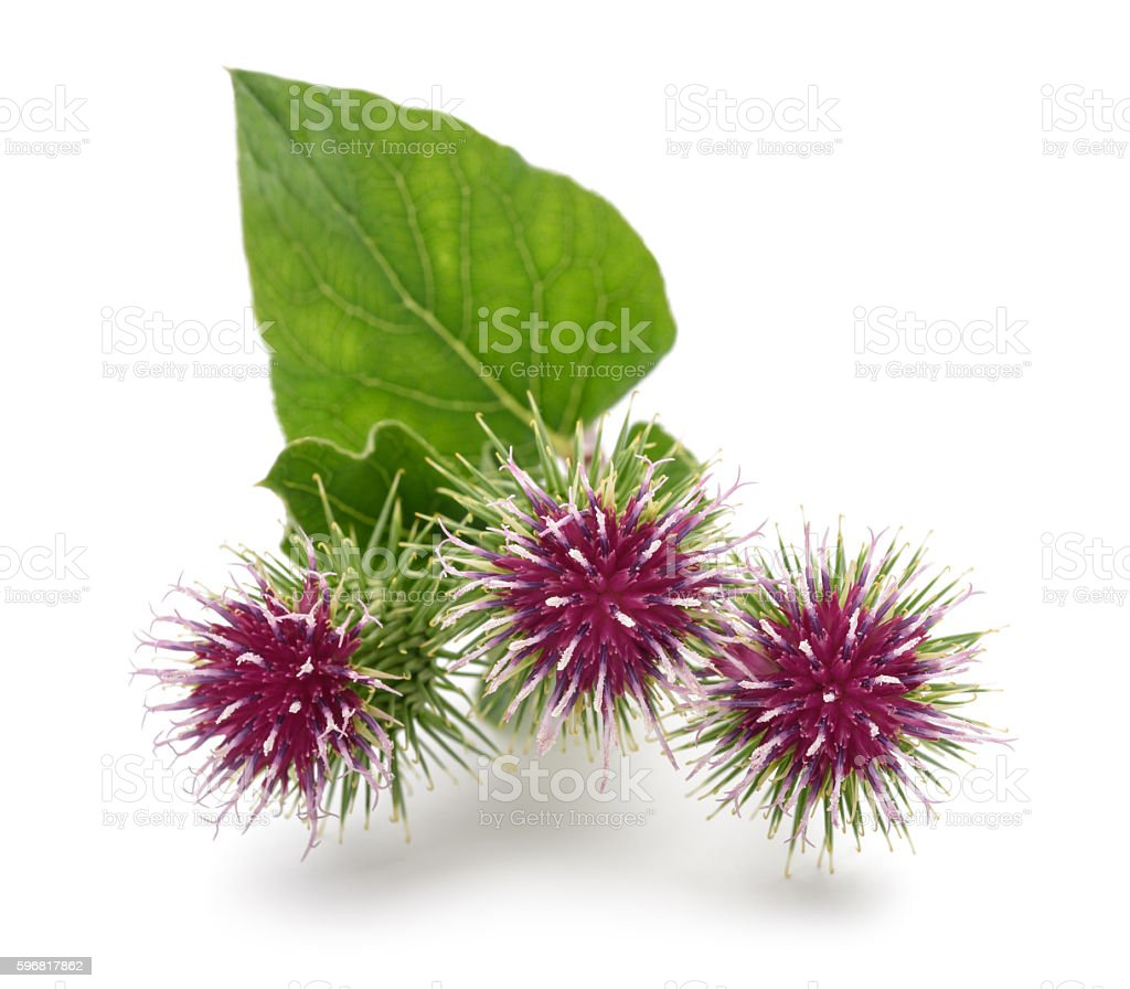 Greater Burdock flowers stock photo