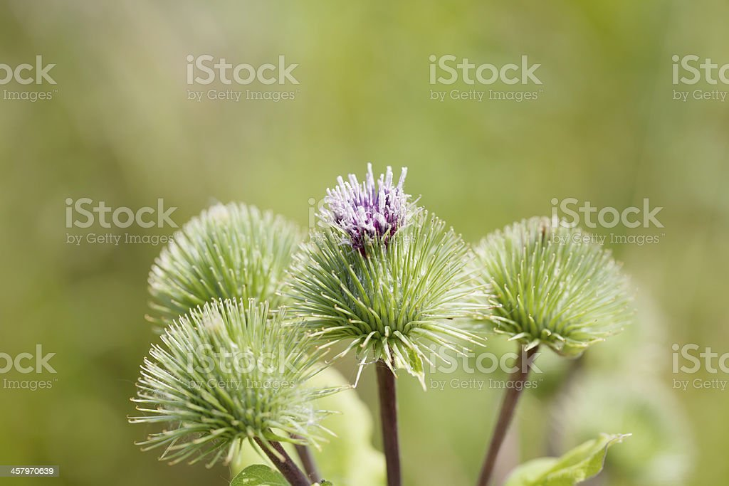 Greater Burdock (Arctium lappa) stock photo