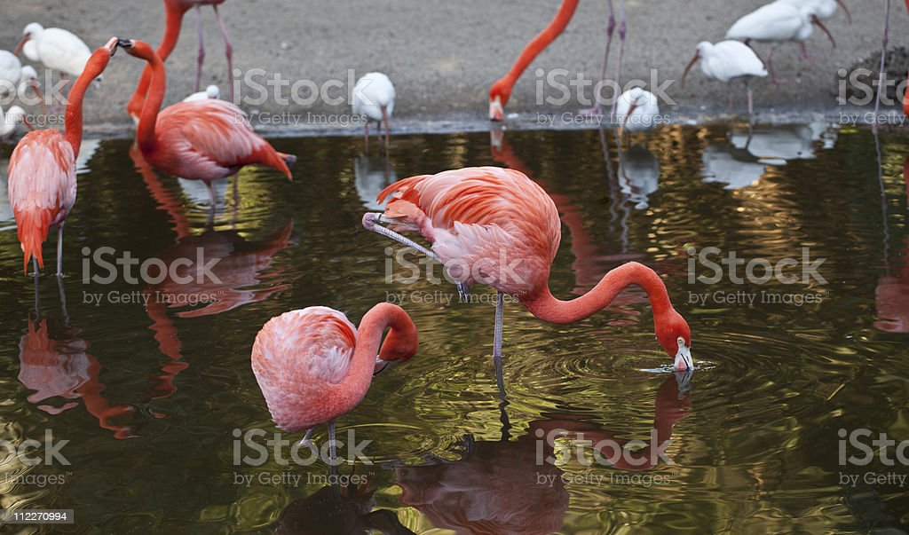 Greater Flamingo (Phoenicoperus ruber) royalty-free stock photo