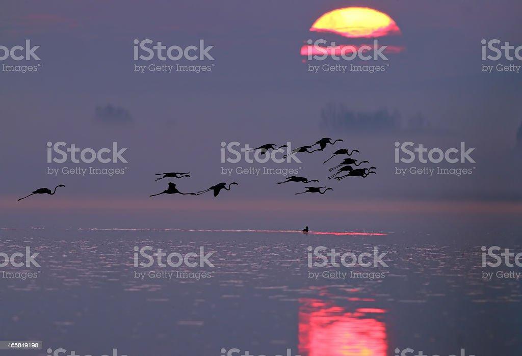 Greater Flamingo (Sunrise) stock photo