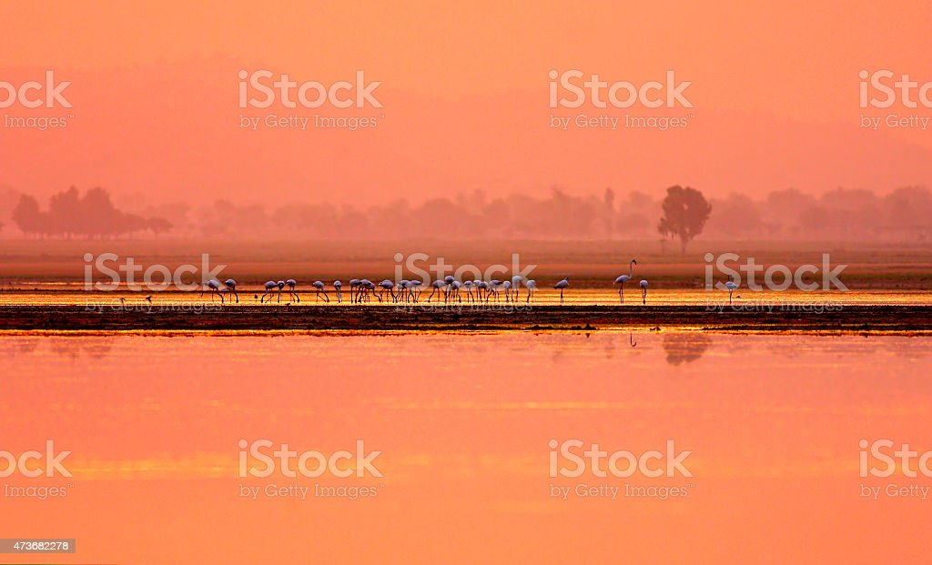 Greater Flamingoes in golden lake stock photo