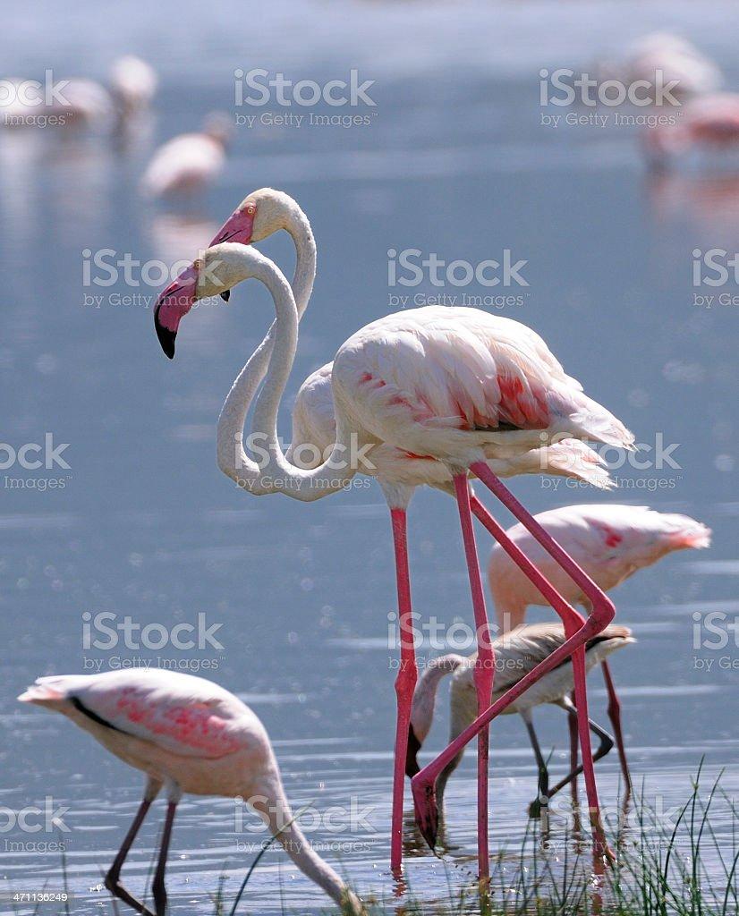 Greater Flamingos on Lake Nakuru royalty-free stock photo