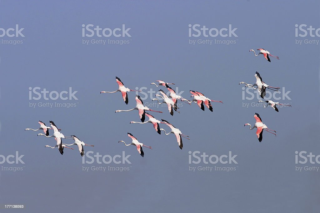 Greater Flamingos royalty-free stock photo