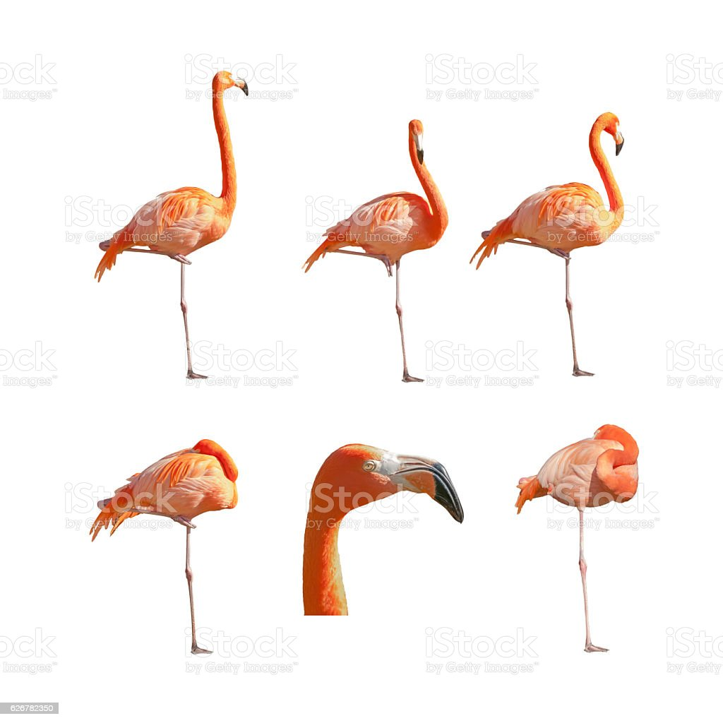Greater Flamingos sleeping resting and standing isolated on white background. stock photo
