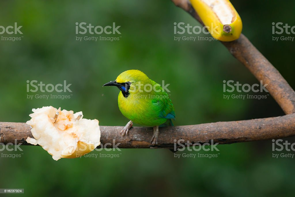 Greater green leafbird stock photo