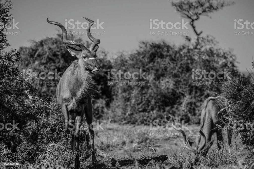Greater Kudu, Addo Elephant National Park, South Africa stock photo