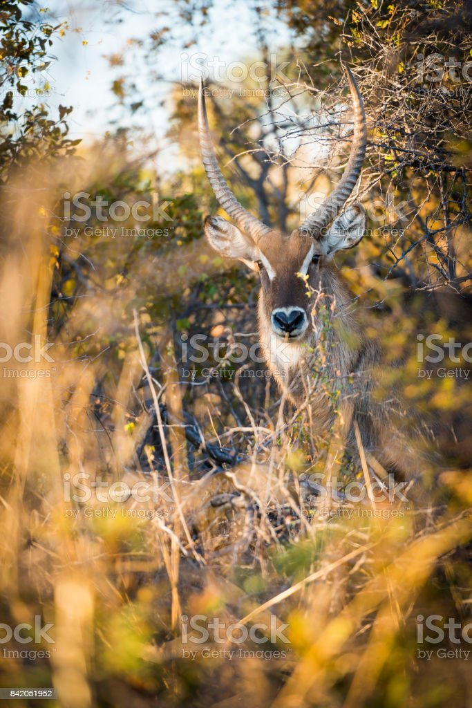 Greater Kudu Africa stock photo