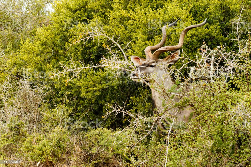 Greater Kudu hiding behind the thorny bushes stock photo