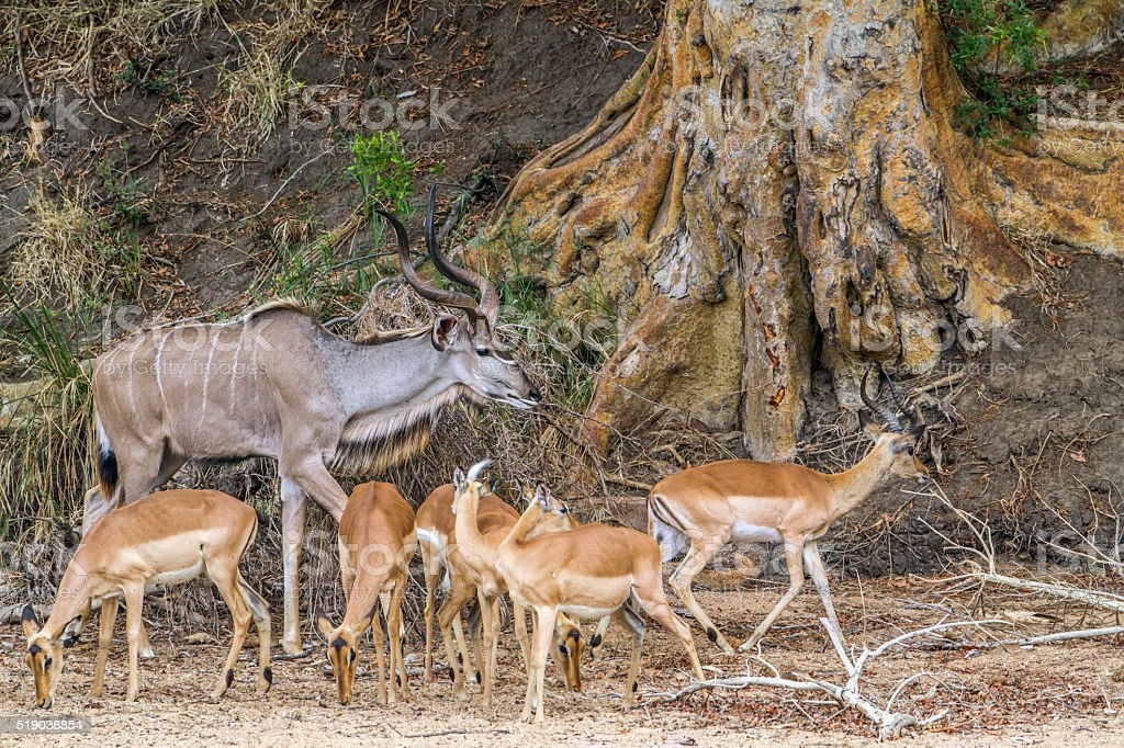 Greater kudu in Kruger National park, South Africa stock photo