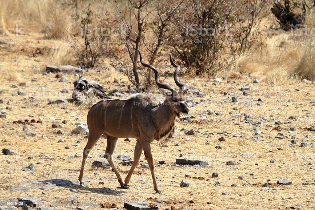 Greater Kudu in savannah in Etosha Park Namibia stock photo
