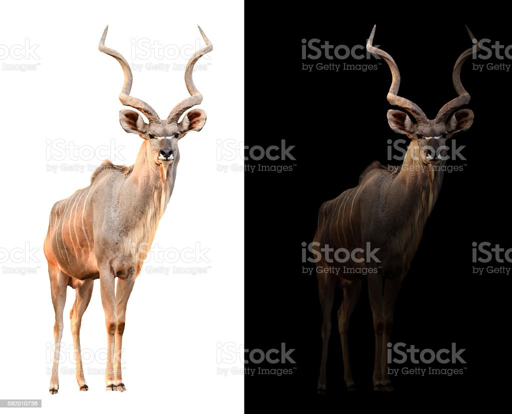 greater kudu in the dark and white background stock photo