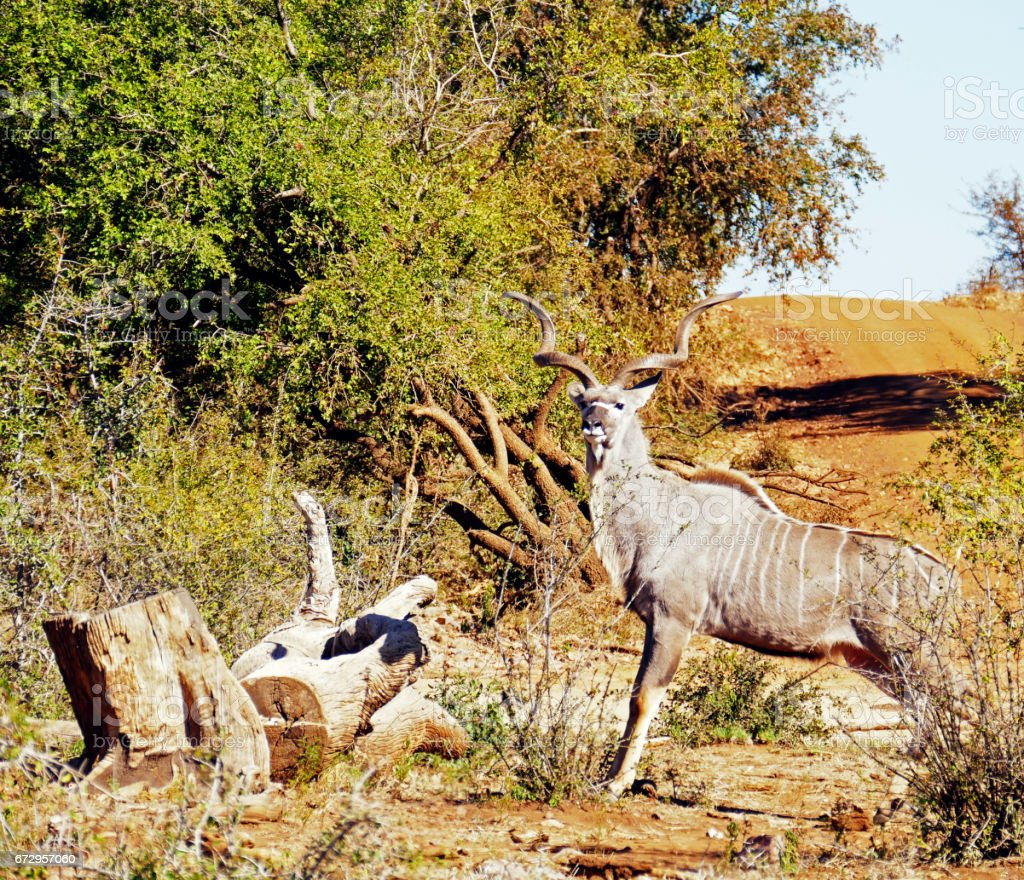 Greater Kudu in the Madikwe Game Reserve in South Africa stock photo