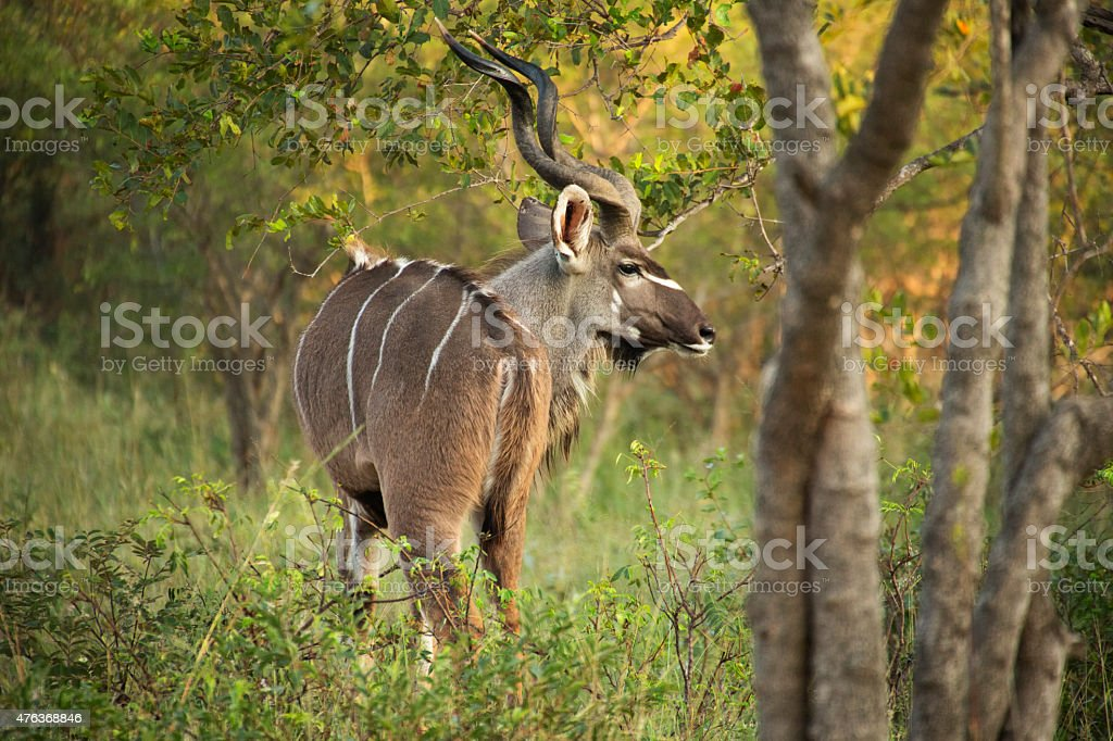 Greater Kudu, Kruger National Park, South Africa stock photo
