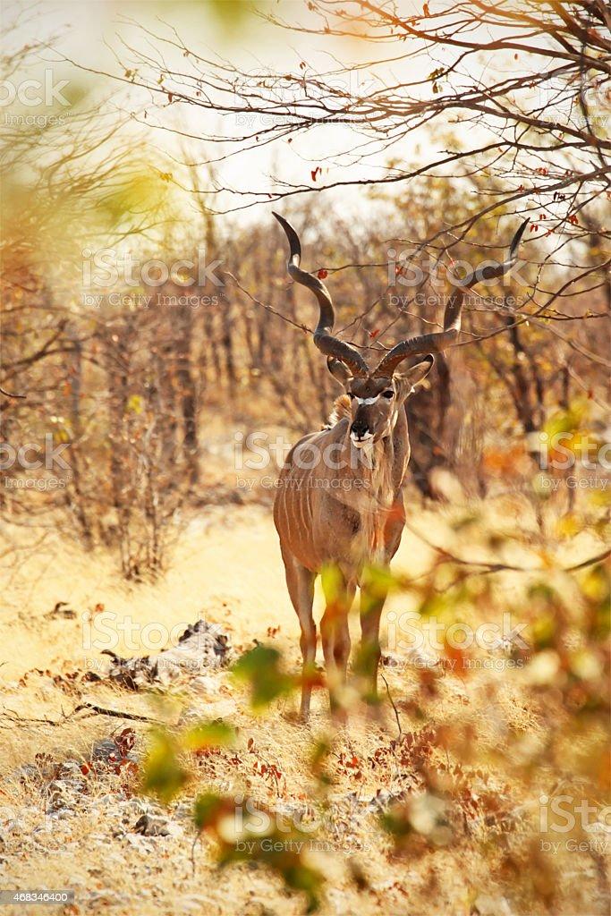 Greater Kudu Male in Etosha NP Namibia Africa stock photo