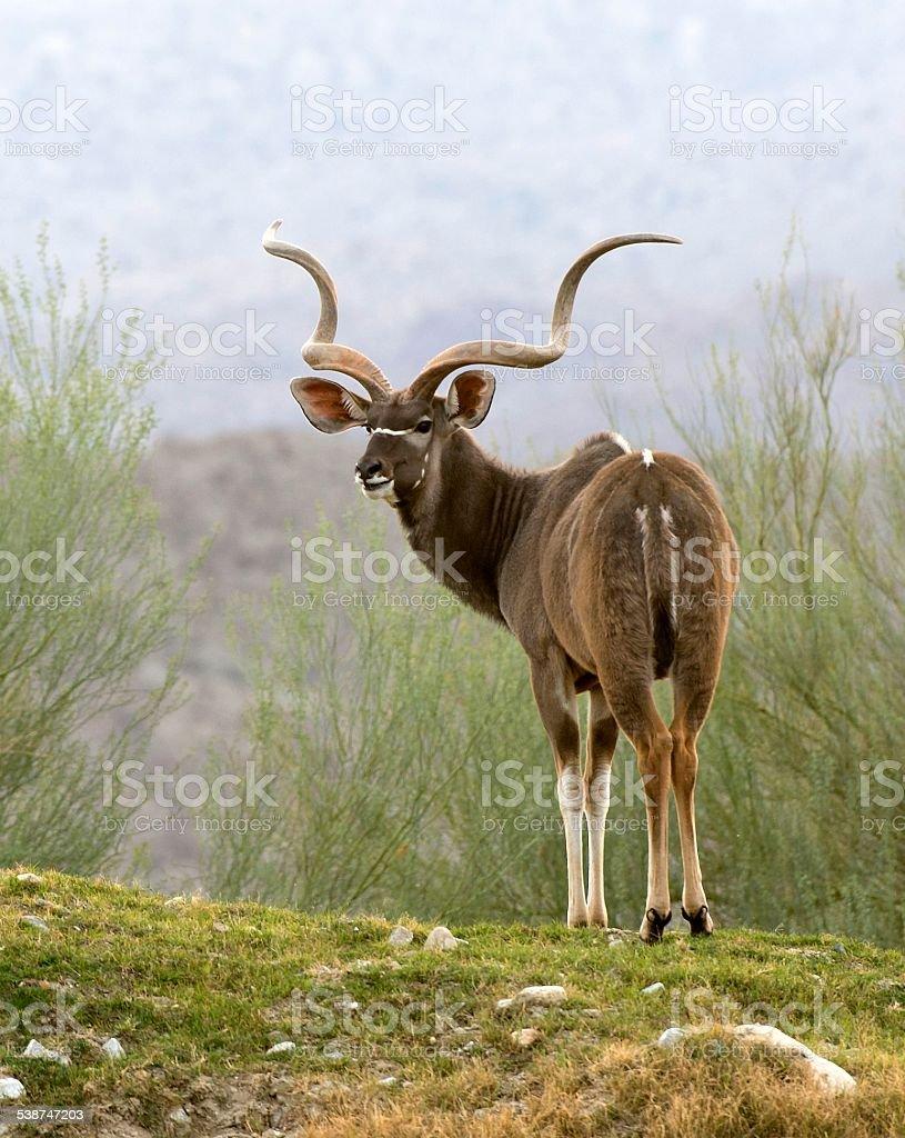 Greater Kudu On Hillside stock photo