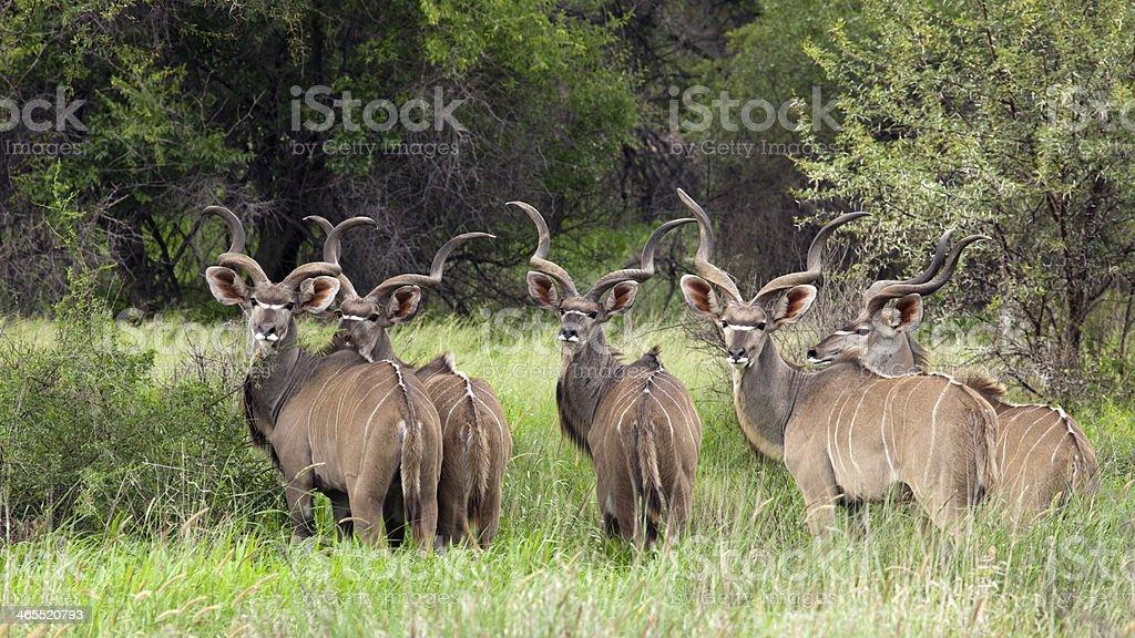 Greater kudu, Tragelaphus strepsiceros royalty-free stock photo