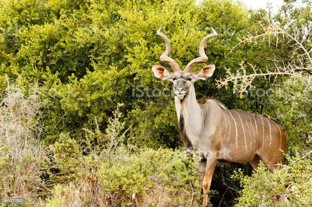 Greater Kudu - Tragelaphus strepsiceros stock photo