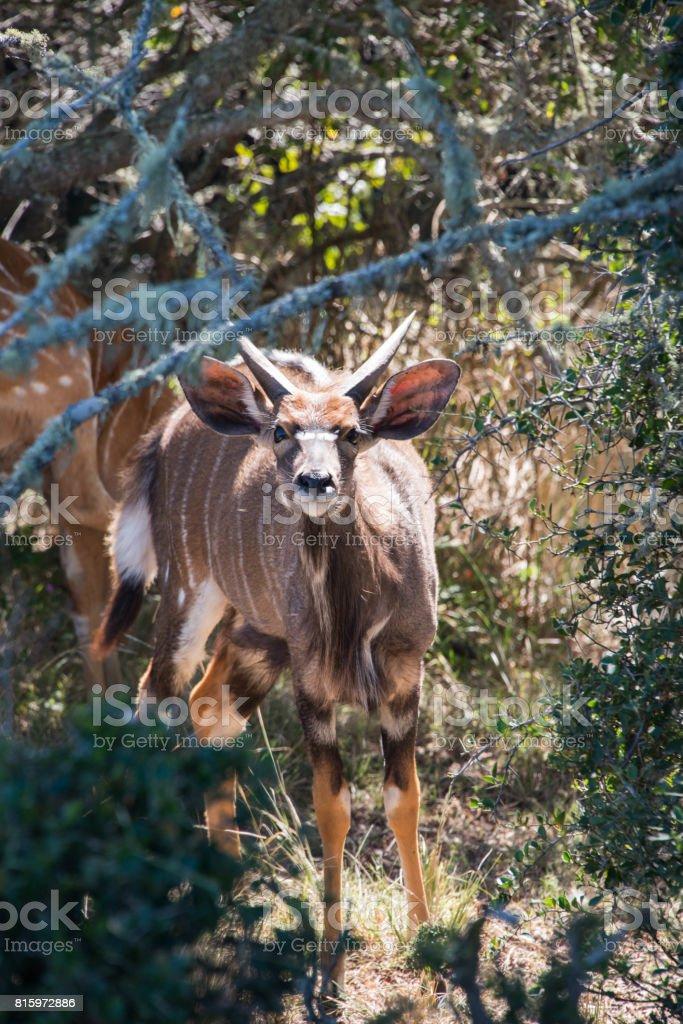 A greater kudu, Tragelaphus strepsiceros, watching through bushes, South Africa stock photo