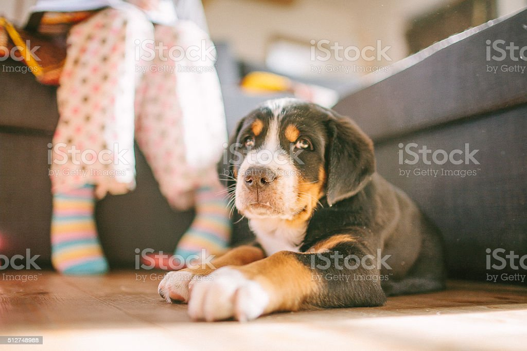 Greater mountain swiss dog puppies laying on the floor stock photo