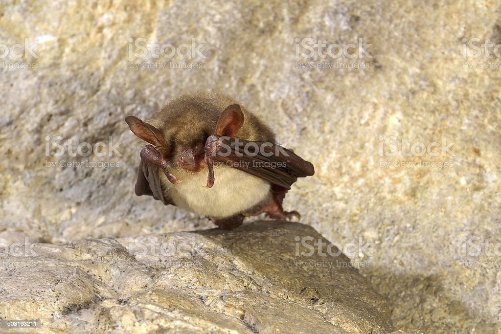 Greater mouse-eared bat ( Myotis myotis) royalty-free stock photo