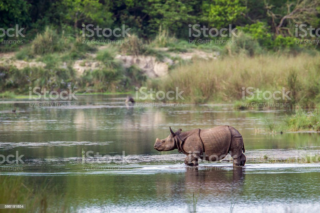 Greater One-horned Rhinoceros in Bardia national park, Nepal stock photo