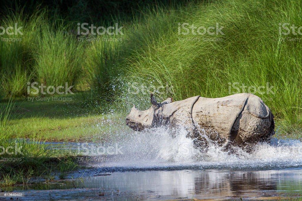 Greater One-horned Rhinoceros in Bardia national park, Nepal stock photo