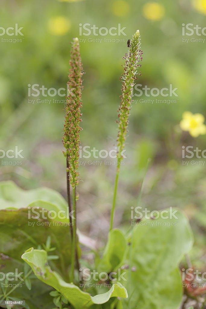 Greater Plantain (Plantago major) royalty-free stock photo