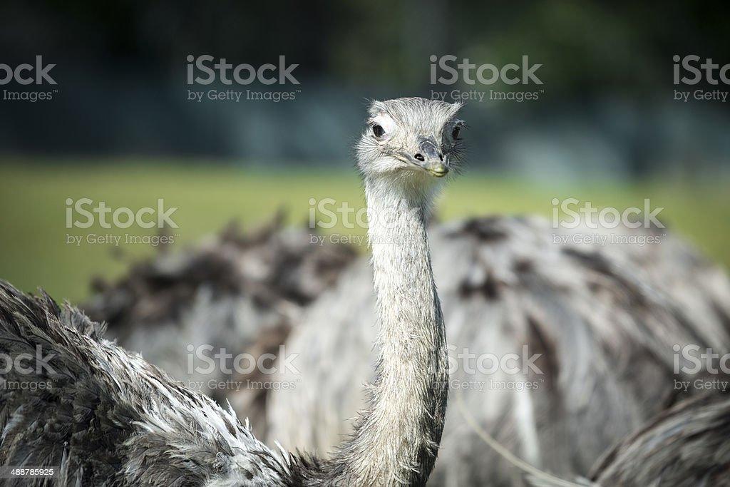 Greater Rhea (Rhea americana) stock photo