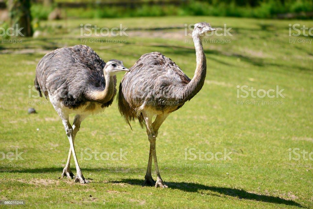 Greater Rheas walking on grass stock photo