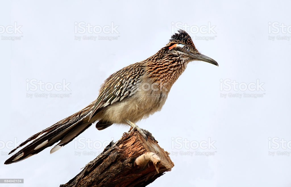 Greater Roadrunner on a Tree Branch stock photo