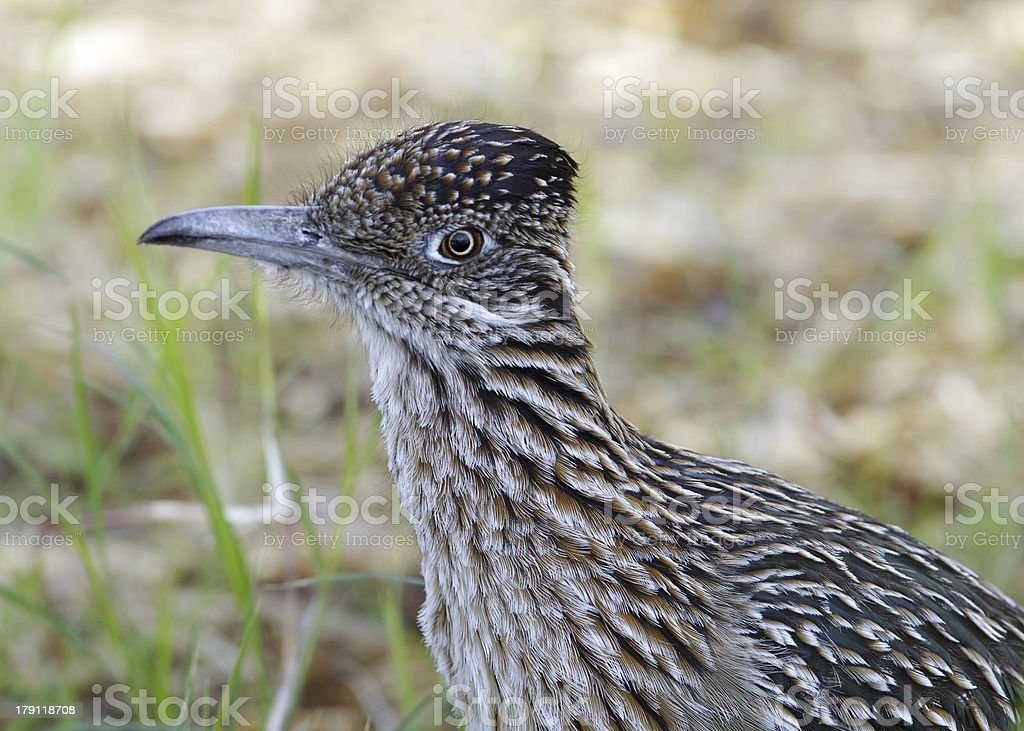 Greater Roadrunner (Geococcyx californianus). royalty-free stock photo