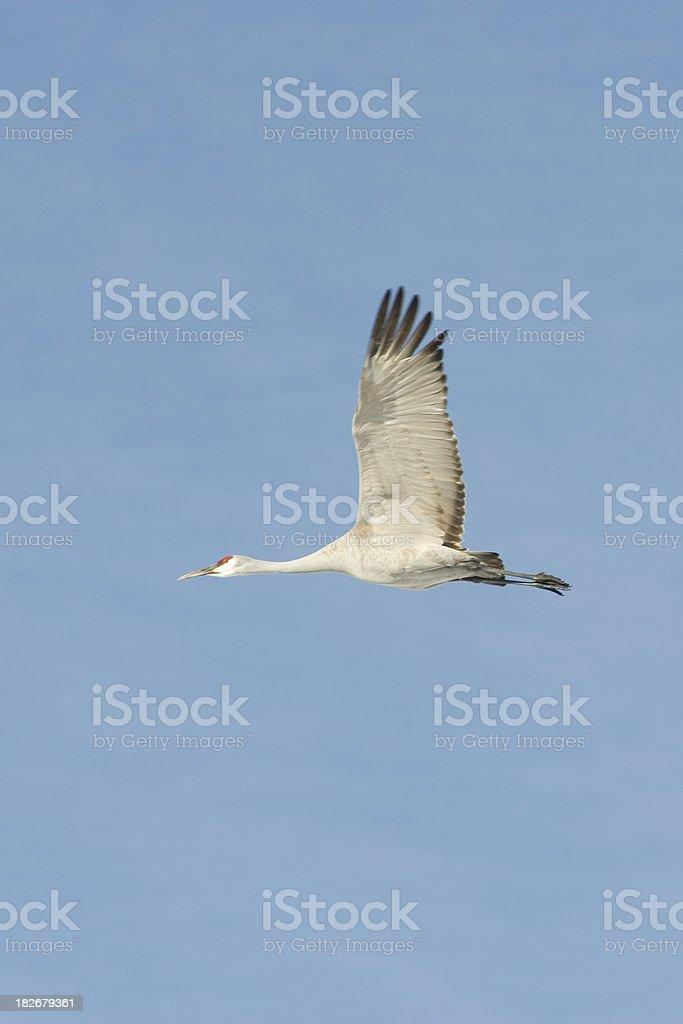 Greater Sandhill Crane in Flight stock photo
