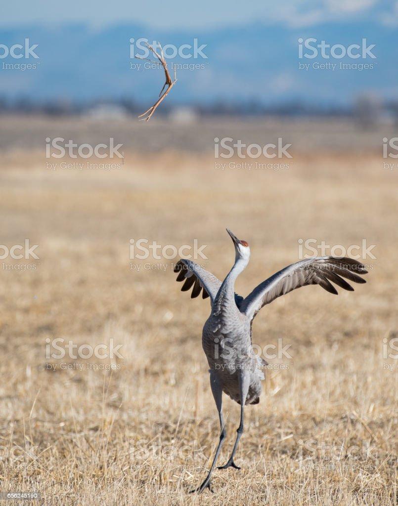 Greater Sandhill Crane stock photo