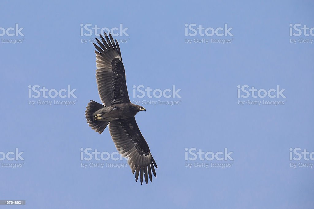 Greater Spotted Eagle flying stock photo