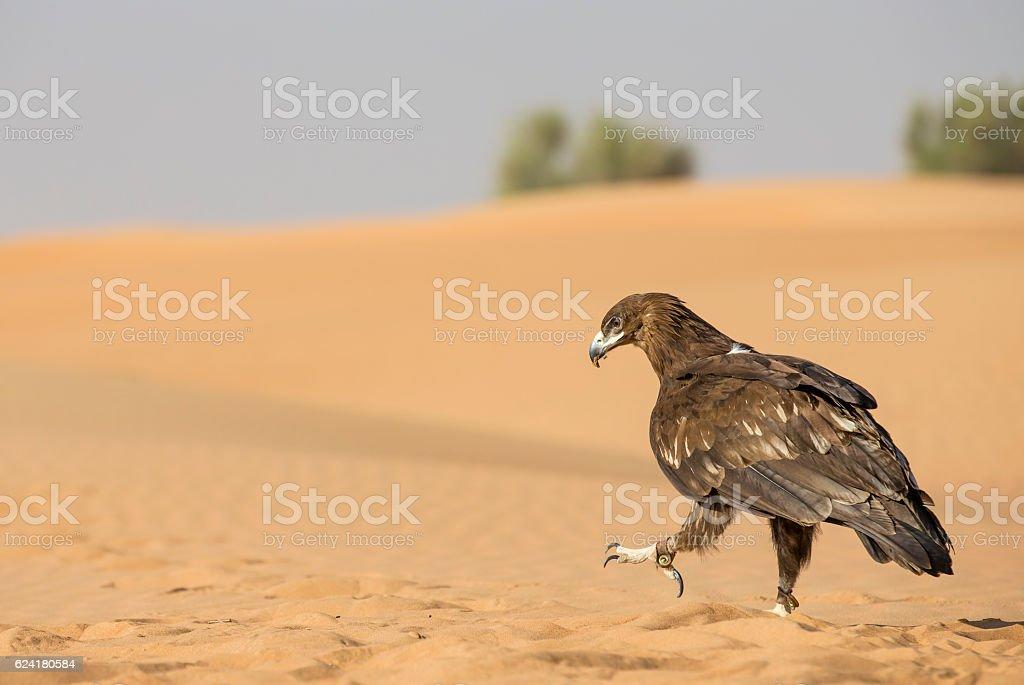 Greater Spotted eagle in a desert near Dubai stock photo
