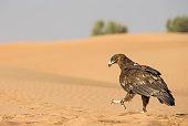 Greater Spotted eagle in a desert near Dubai