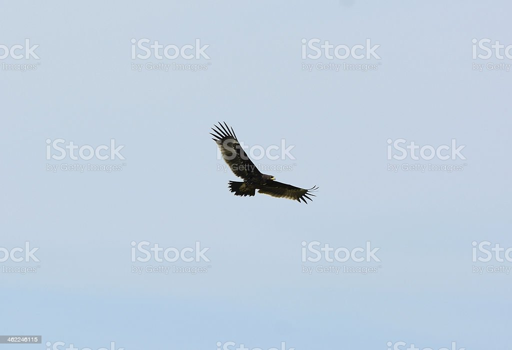 Greater Spotted Eagle (Aquila clanga) stock photo