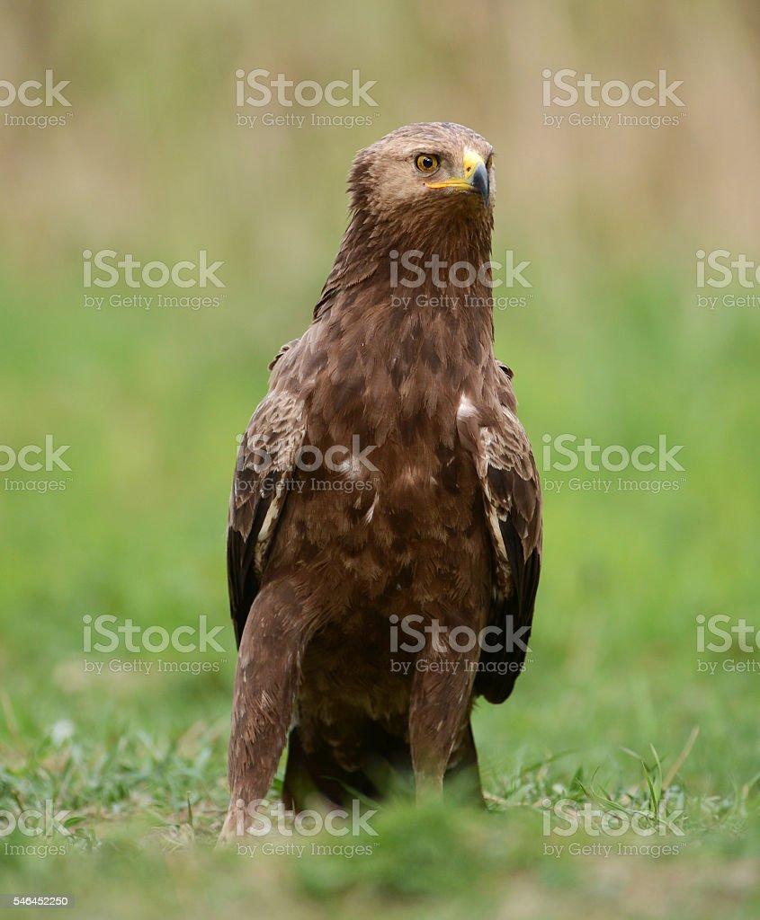 Greater Spotted Eagle (Clanga pomarina) stock photo
