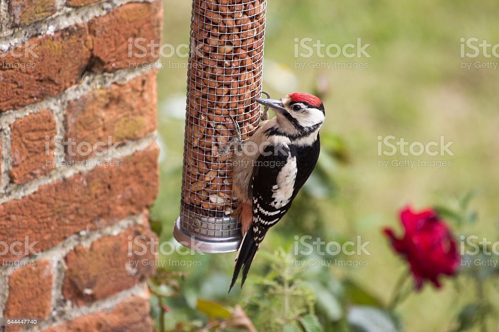 Greater Spotted Woodpecker on Nut Feeder stock photo
