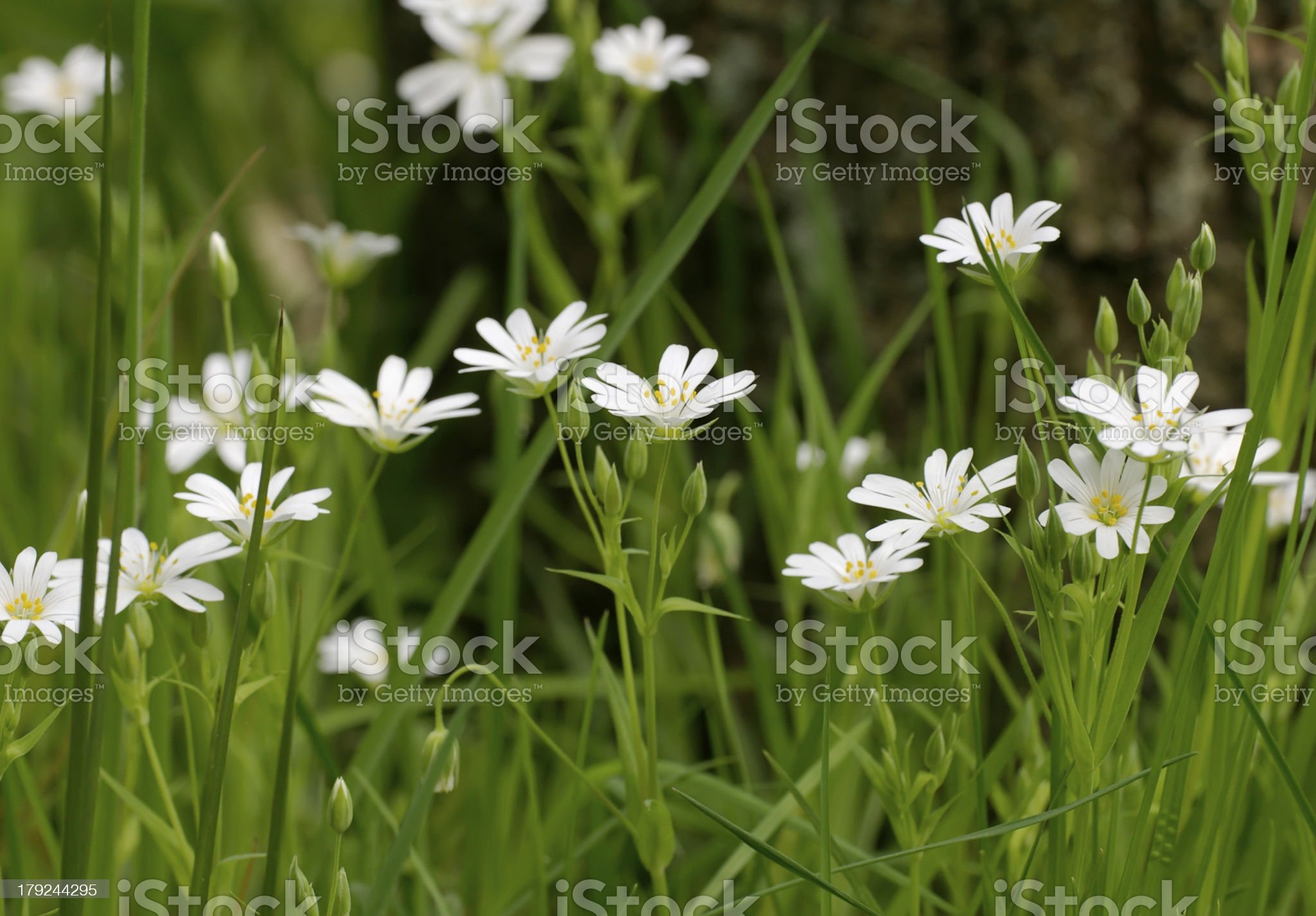 Greater Stitchwort (Stellaria holostea) royalty-free stock photo