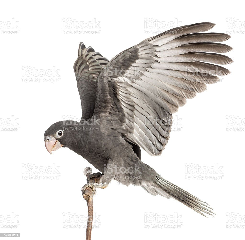 Greater Vasa Parrot, 7 weeks old, perched on branch stock photo