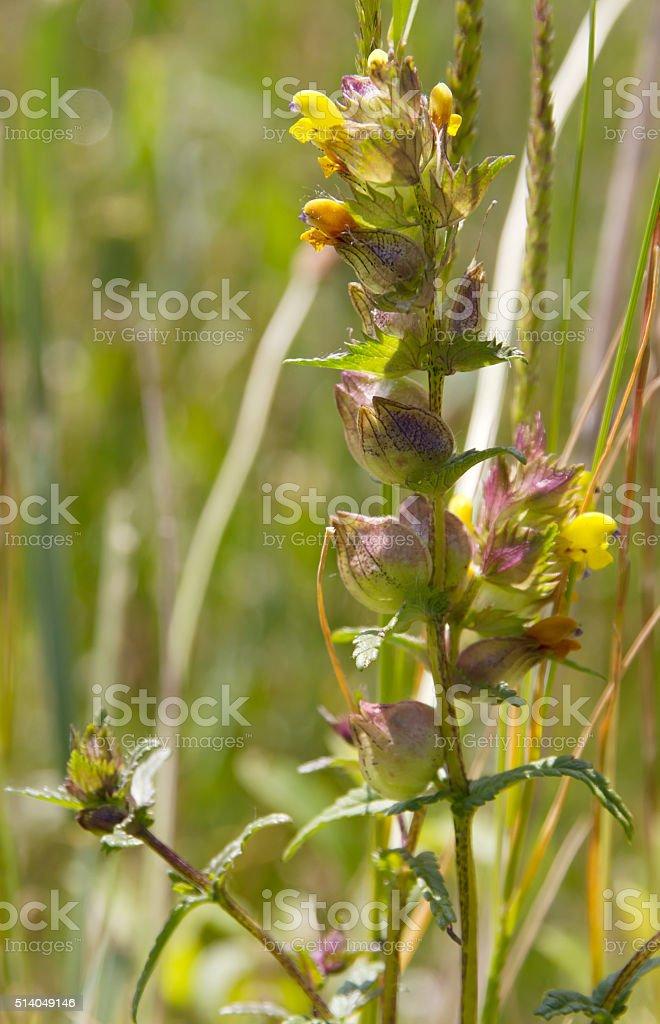Greater Yellow Rattle (Rhinathus angustifolius) stock photo